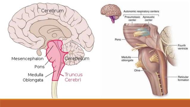 MOZGOVNA SRŽ – bijela mozgovna tvar • oblikuju je mijelinizirani snopovi: • projekcijskih vlakana  dovodni putovi s perif...