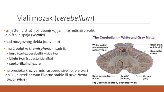 Nastanak i prijenos osjetnih informacija RECEPTOR (na periferiji)  osjetna dovodna (aferentna) živčana vlakna kroz spinal...