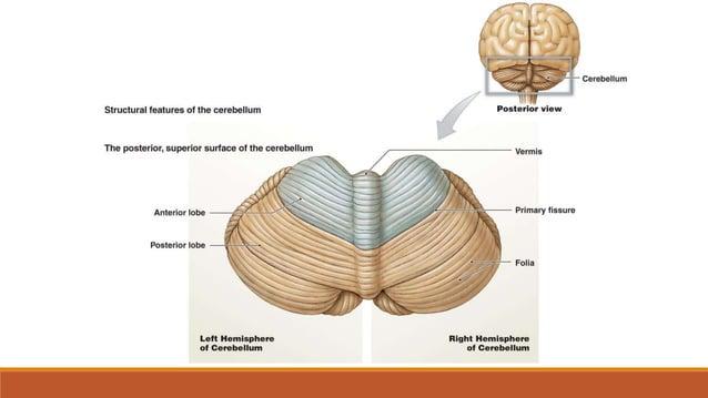 Nastanak i prijenos motoričkih podražaja 1. primarno motoričko područje smješteno je u precentralnoj vijugi frontalnog rež...