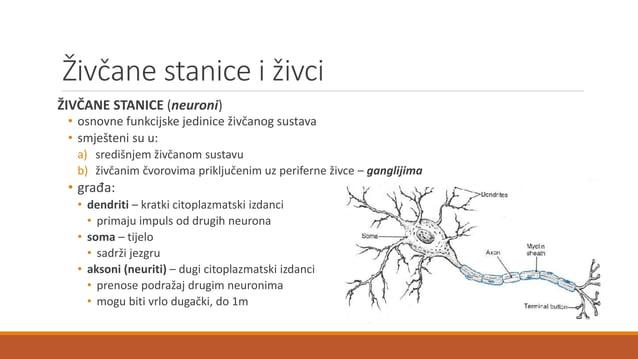 Živčane stanice i živci ŽIVČANE STANICE (neuroni) • osnovne funkcijske jedinice živčanog sustava • smješteni su u: a) sred...