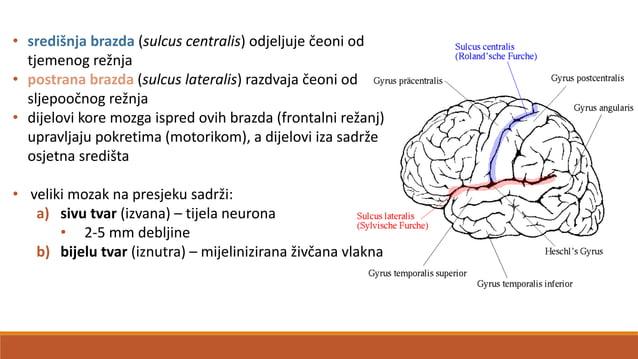 LUBANJSKI (KRANIJALNI) ŽIVCI – nn. craniales • ima 12 parova kranijalnih živaca • oživčuju područje glave i vrata • označa...