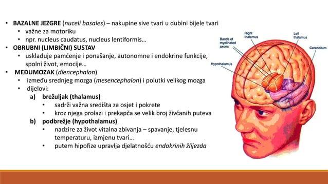 VIII. Predvornopužnički živac (n. vestibulocohlearis) • osjetni živac kojeg tvore: a) n. vestibularis • iz predvorja i pol...