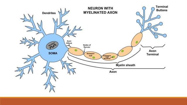Sinapsa (synapsis) – veze između pojedinih neurona ili između neurona i ciljnog tkiva (npr. mišić)