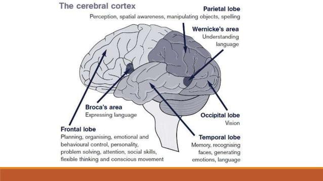 PRSNI ŽIVCI (nn. thoracici) - 12 pari • putem međurebrenih živaca (nn. intercostales) inerviraju međurebrene mišiće • daju...