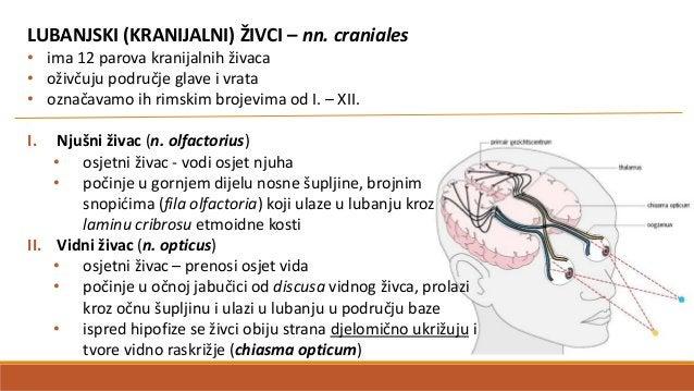 PARASIMPATIČKI DIO (pars parasymphatica) • oživčuje sve organe kao i simpatički dio, ali suprotno djeluju • polazi iz mozg...