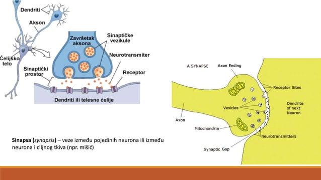 Moždane ovojnice, mozgovnice (meninges) •sustav ovojnica koji omata središnji živčani sustav (CNS) •primarna uloga je zašt...