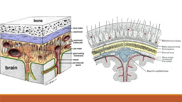 4 mozgovne klijetke / komore (ventriculi cerebri) • prostori u mozgu ispunjeni likvorom • 2 postrane klijetke (ventriculus...