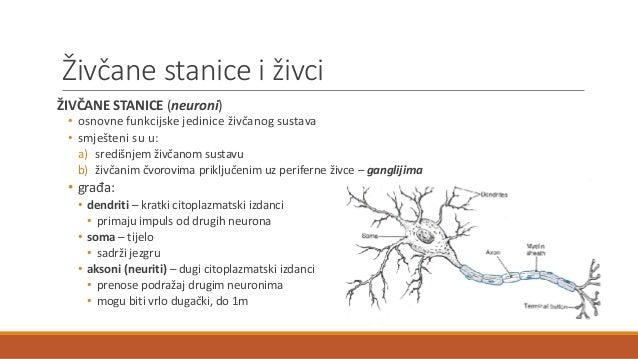 Živčani sustav Slide 3