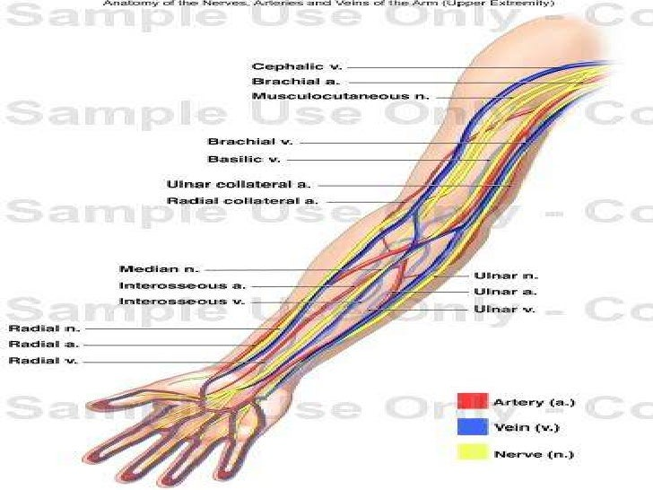Arm Veins Anatomy Images - human body anatomy