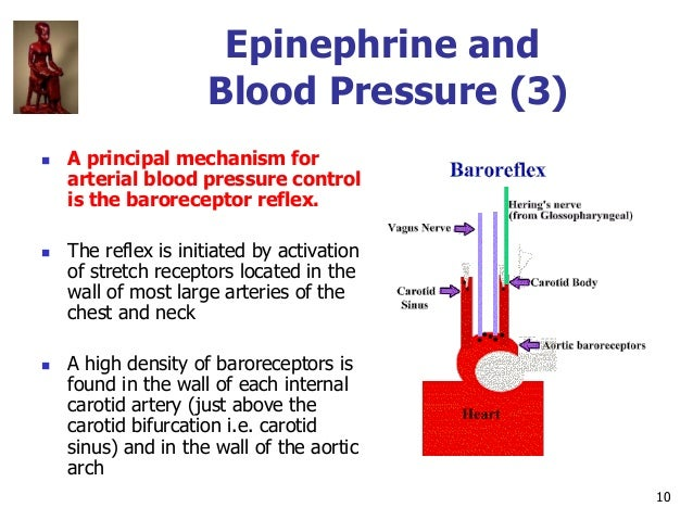 10 Epinephrine and Blood Pressure (3)  A principal mechanism for arterial blood pressure control is the baroreceptor refl...