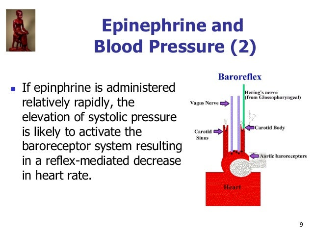 9 Epinephrine and Blood Pressure (2)  If epinphrine is administered relatively rapidly, the elevation of systolic pressur...