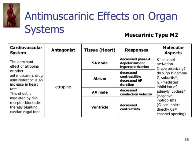 55 Antimuscarinic Effects on Organ Systems Cardiovascular System Antagonist Tissue (Heart) Responses Molecular Aspects The...