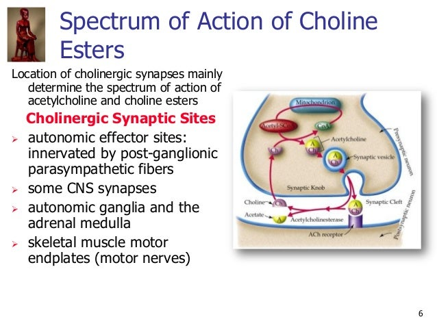 6 Spectrum of Action of Choline Esters Location of cholinergic synapses mainly determine the spectrum of action of acetylc...