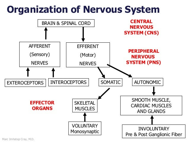 Marc Imhotep Cray, M.D. Organization of Nervous System BRAIN & SPINAL CORD CENTRAL NERVOUS SYSTEM (CNS) PERIPHERAL NERVOUS...