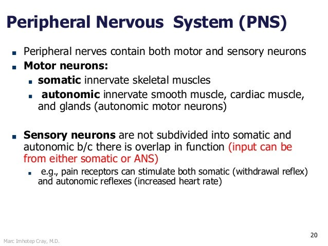 Marc Imhotep Cray, M.D. 20 Peripheral Nervous System (PNS) Peripheral nerves contain both motor and sensory neurons Motor ...