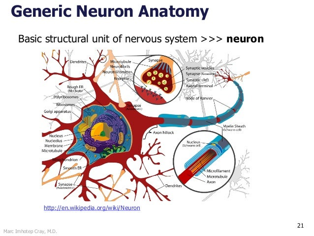 Marc Imhotep Cray, M.D. 21 Generic Neuron Anatomy http://en.wikipedia.org/wiki/Neuron Basic structural unit of nervous sys...