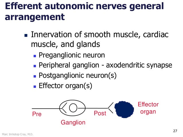 Marc Imhotep Cray, M.D. 27 Efferent autonomic nerves general arrangement  Innervation of smooth muscle, cardiac muscle, a...