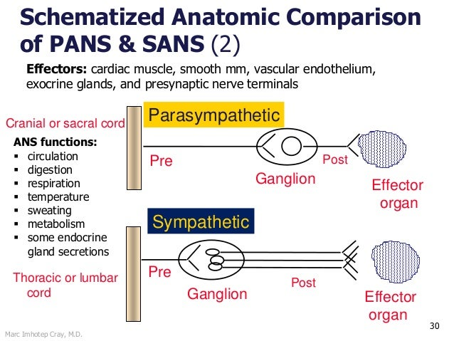 Marc Imhotep Cray, M.D. 30 Schematized Anatomic Comparison of PANS & SANS (2) Pre Ganglion Effector organ PostThoracic or ...