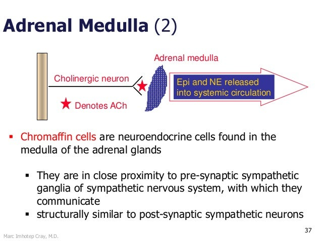 Marc Imhotep Cray, M.D. 37 Adrenal Medulla (2) Cholinergic neuron Adrenal medulla Epi and NE released into systemic circul...