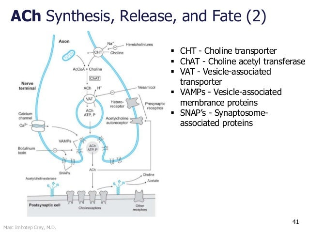 Marc Imhotep Cray, M.D. ACh Synthesis, Release, and Fate (2) 41  CHT - Choline transporter  ChAT - Choline acetyl transf...