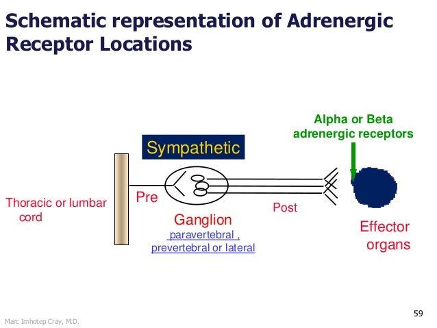 Marc Imhotep Cray, M.D. 59 Schematic representation of Adrenergic Receptor Locations Sympathetic Pre Ganglion paravertebra...