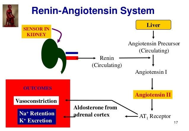 17 Renin-Angiotensin System Renin (Circulating) Liver Angiotensin Precursor (Circulating) Angiotensin I AT1 Receptor Aldos...