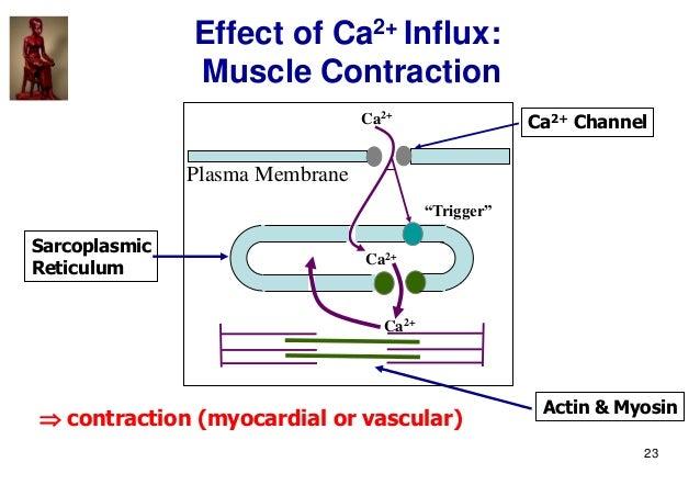 """23 Effect of Ca2+ Influx: Muscle Contraction Ca2+ Channel Sarcoplasmic Reticulum Actin & Myosin Ca2+ Ca2+ """"Trigger""""  cont..."""