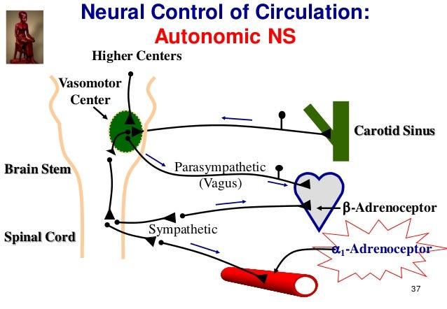 37 Neural Control of Circulation: Autonomic NS Spinal Cord Brain Stem Carotid Sinus Parasympathetic (Vagus) Sympathetic 1...