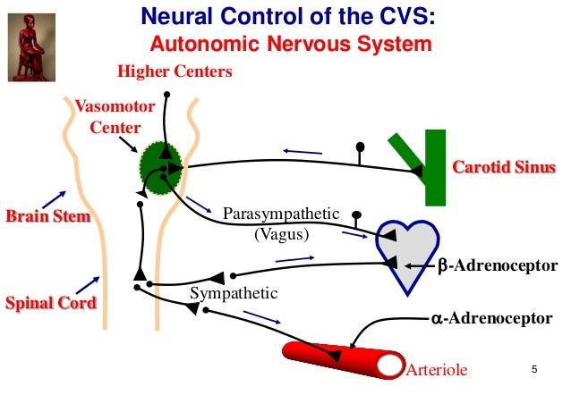 5 Spinal Cord Brain Stem Carotid Sinus Parasympathetic (Vagus) Sympathetic -Adrenoceptor -Adrenoceptor Vasomotor Center ...