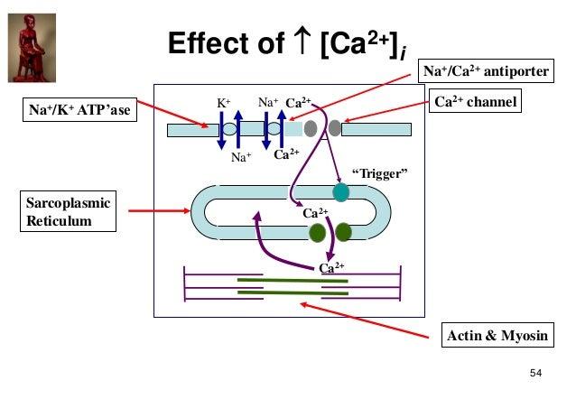 54 Effect of  [Ca2+]i Na+/K+ ATP'ase Ca2+ channel Sarcoplasmic Reticulum Actin & Myosin Na+/Ca2+ antiporter   contracti...