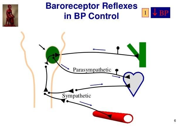 6 Parasympathetic Sympathetic Baroreceptor Reflexes in BP Control  BP1