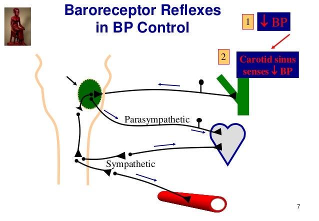 7 Carotid sinus senses  BP Parasympathetic Sympathetic 2 Baroreceptor Reflexes in BP Control  BP1
