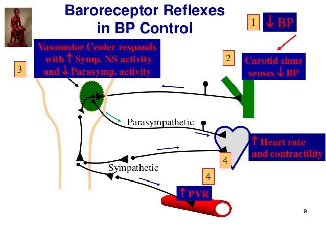 9 Carotid sinus senses  BP Parasympathetic Sympathetic  PVR  Heart rate and contractility Vasomotor Center responds wit...