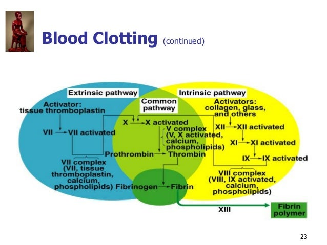 Copyright © The McGraw-Hill Companies, Inc. Permission required for reproduction or display. 23 Blood Clotting (continued)