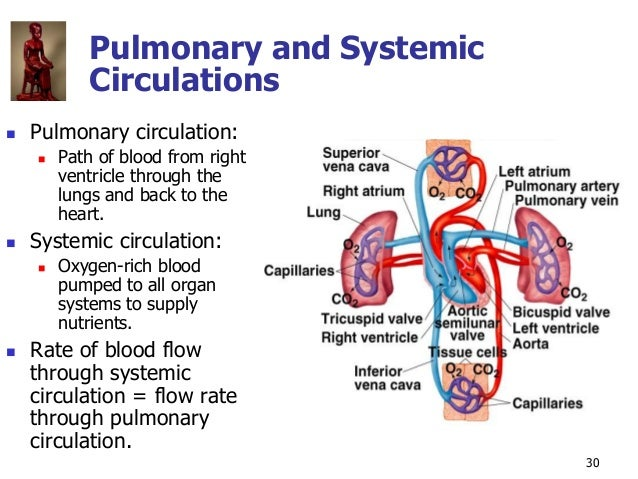 Copyright © The McGraw-Hill Companies, Inc. Permission required for reproduction or display. 30 Pulmonary and Systemic Cir...
