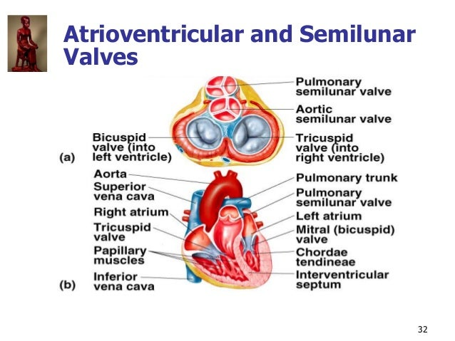 Copyright © The McGraw-Hill Companies, Inc. Permission required for reproduction or display. 32 Atrioventricular and Semil...