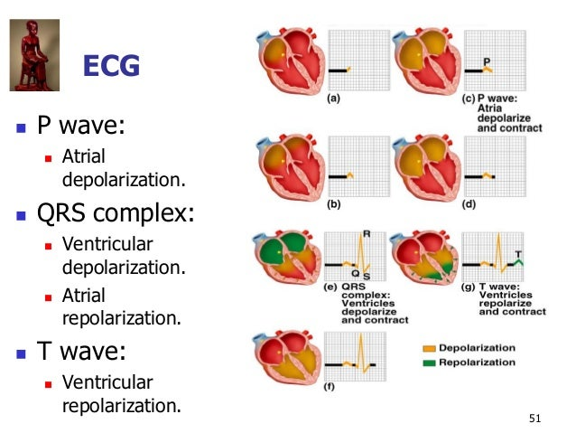 Copyright © The McGraw-Hill Companies, Inc. Permission required for reproduction or display. 51 ECG  P wave:  Atrial dep...