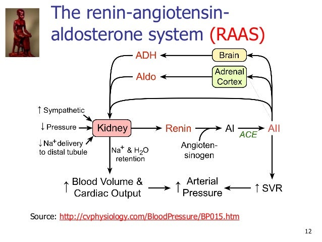 The renin-angiotensin- aldosterone system (RAAS) 12 Source: http://cvphysiology.com/BloodPressure/BP015.htm