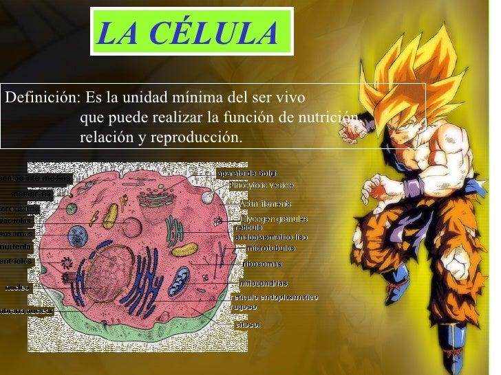 LA CÉLULA Definición: Es la unidad mínima del ser vivo  que puede realizar la función de nutrición, relación y reproducción.