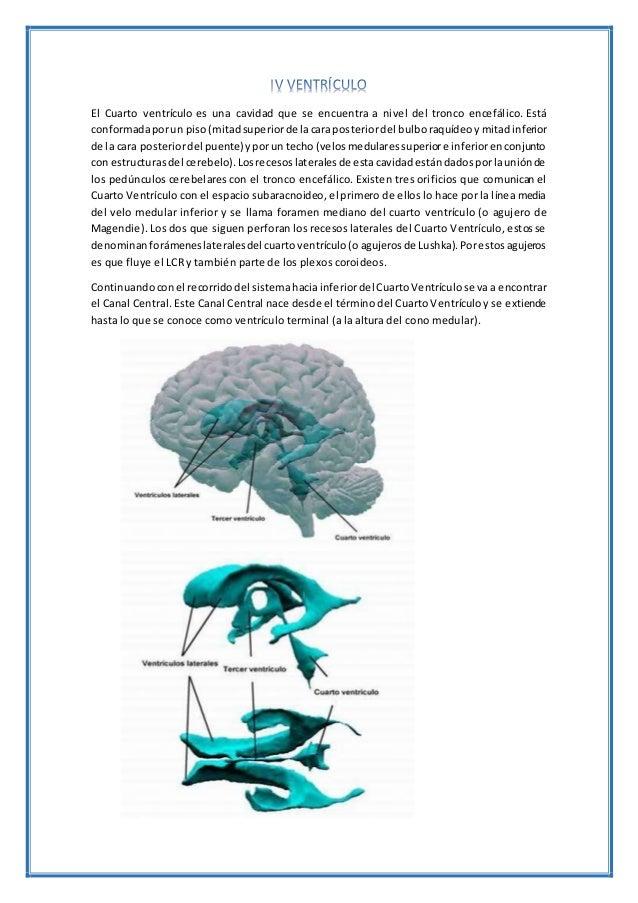 El Cuarto ventrículo es una cavidad que se encuentra a nivel del tronco encefálico. Está conformadaporun piso(mitadsuperio...