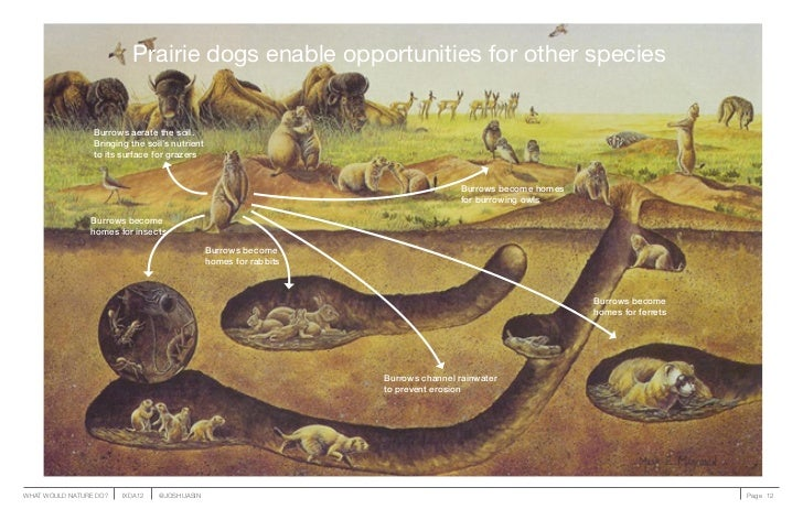 Prairie dogs enable opportunities for other species                 Burrows aerate the soil.                 Bringing the ...