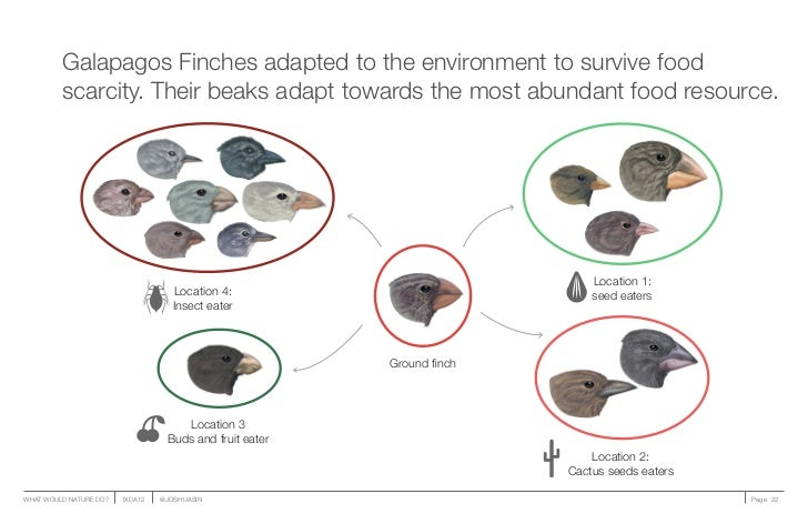 Galapagos Finches adapted to the environment to survive food         scarcity. Their beaks adapt towards the most abundant...