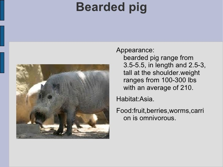Bearded pig <ul><li>Appearance:  bearded pig range from 3.5-5.5, in length and 2.5-3, tall at the shoulder.weight ranges f...