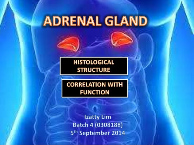 ADRENAL GLAND  Covered with thick CT capsule from which trabeculae  extend into parenchyma, carrying blood vessels & nerve...