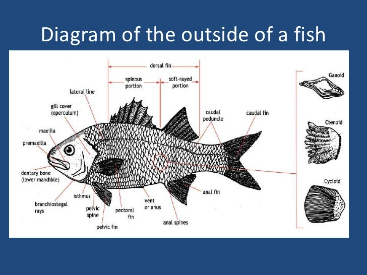 Diagram Of A Puffer Fish - Auto Electrical Wiring Diagram •