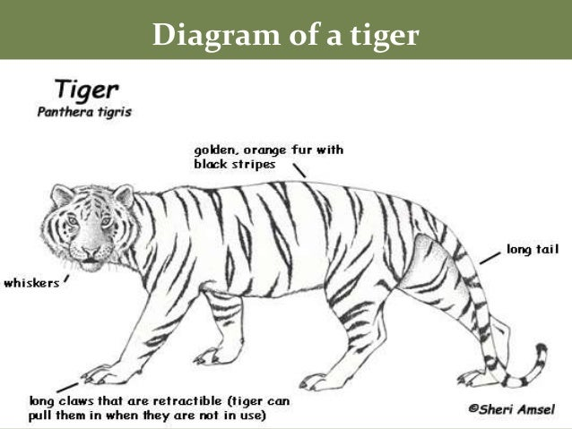 diagram of tiger wiring diagram for you • tiger diagram labled schema wiring diagrams rh 70 pur tribute de diagram of tiger shark diagram of trigger finger