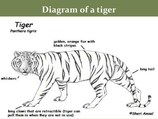 Diagram of tiger free vehicle wiring diagrams tigers rh slideshare net diagram of tiger lane diagram of tiger 2h ccuart Images