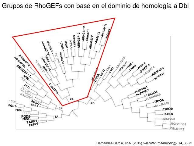 Grupos de RhoGEFs con base en el dominio de homología a Dbl FGD2 FDG6 FGD5 MCF2L2 ARHGEF12 KARLN 1A 1B 2A 2B Hérnandez-Gar...
