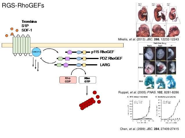 RGS-RhoGEFs Mikelis, et al. (2013) JBC. 288, 12232-12243 Ruppel, et al. (2005) PNAS. 102, 8281-8286 Chen, et al. (2009) JB...