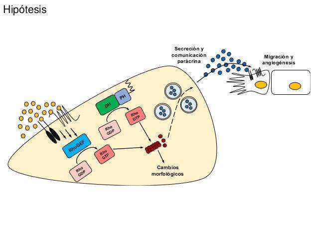 Hipótesis Cambios morfológicos Secreción y comunicación parácrina Migración y angiogénesis